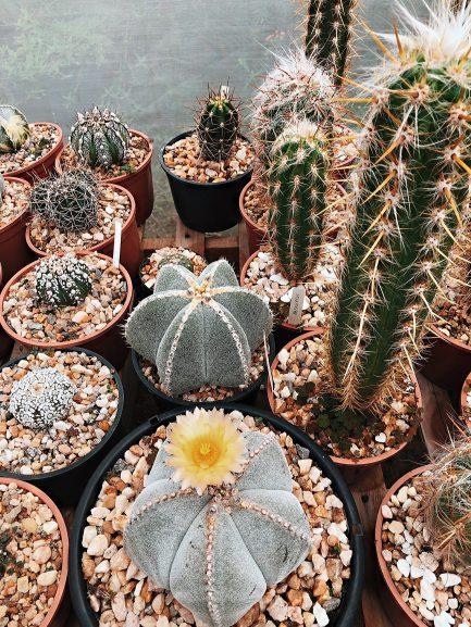 Sitio Adenium, produtor da Rosa do Deserto em, cactos e suculentas em Morro do Chapéu