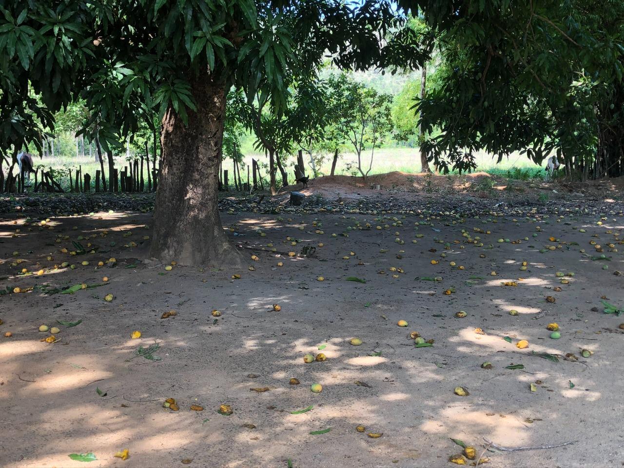 Onde comer quando for a Lagoa do Japonês no Jalapão: Restaurante da Dona Minervina e suas mangueiras